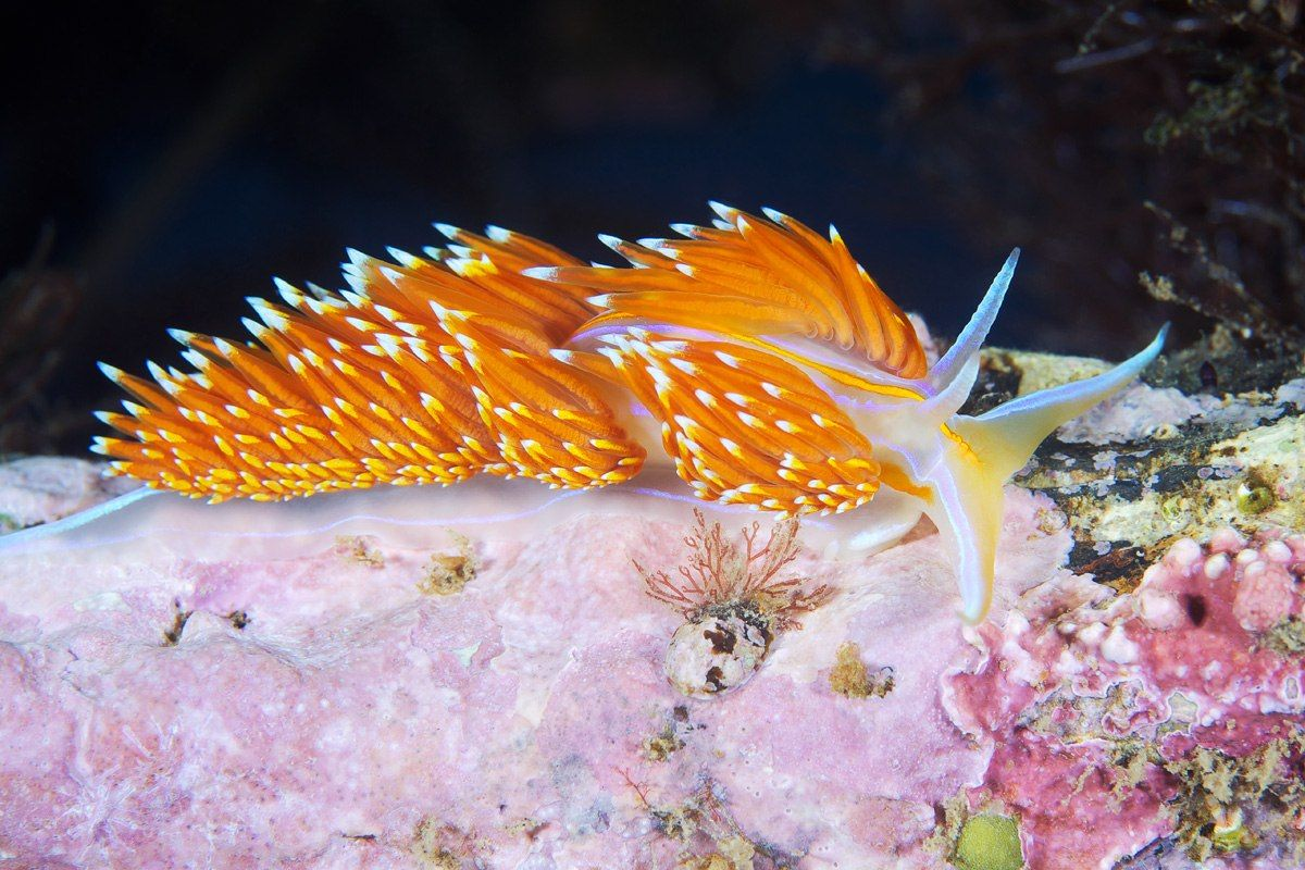 Hermissenda crassicornis from the Sea of Japan, Photo A. Semenov